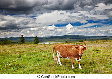 Grazing cow