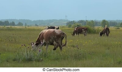 Grazing cow on the pasture