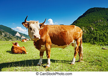 Grazing cow - Mountain landscape with cows and blue sky