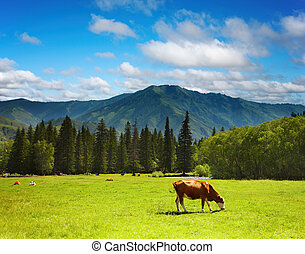 Grazing cow - Rural landscape with grazing cows