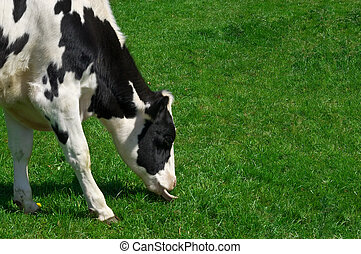 grazing cow - a grazing cows head and fore feet with...