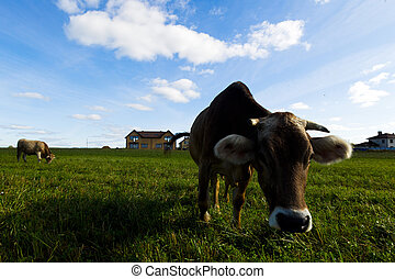 Cows graze on a meadow in the sunny day