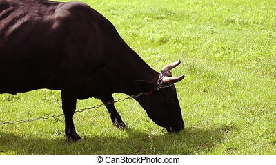 Brown cow with horns eating grass on a green meadow on a...