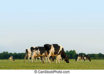Herd of grazing cows in a flat Dutch landscape near sunset, with copyspace.