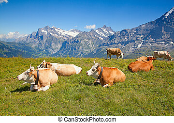 cows in the swiss alps