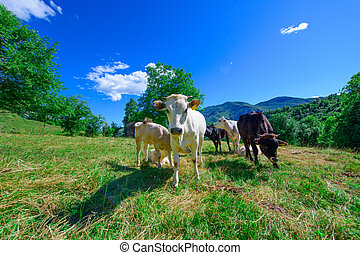 Grazing cows on the Italian Alps in summer