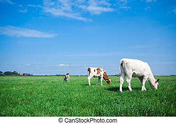 grazing cows on farmland with fresh green grass and bright...