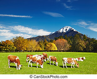 Grazing cows - Mountain landscape with grazing cows