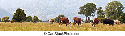 grazing cows, rural landscape, Fox Glacier, West Coast,...