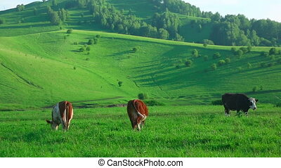 Grazing cows - Cows grazing on the meadow.