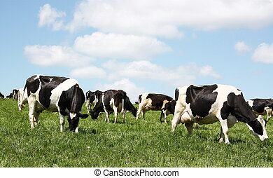 Grazing dairy cows - A herd of grazing black and white...