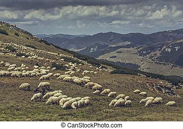 Grazing flock of sheep - Flock of sheep grazing on a alpine ...