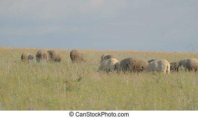 Grazing flock of sheep in green mea