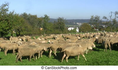 Sheep - Grazing flock of Sheep on a green meadow