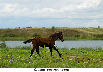 Grazing foal on a summer day