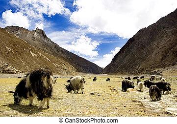 grazing, goats