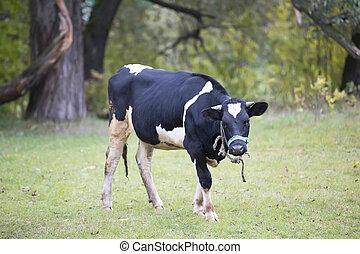 grazing., herbe, pré, vache