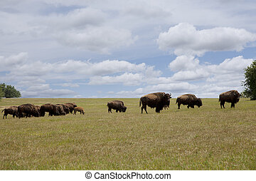 Grazing Herd of Buffalo - Herd of buffalo grazing in an open...