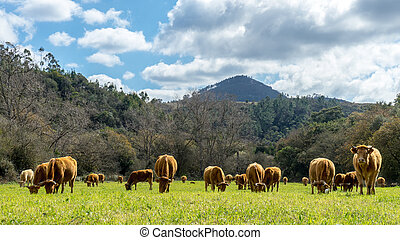 Grazing herd of cows on a field in front of mountainunder a cloudy sky. One cow looks to the viewer.