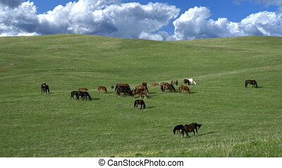Small herd of horses grazing on the picturesque, hilly pasture