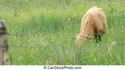 Grazing highland cattle - Highland scottish cattle pasturing...