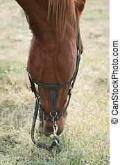Grazing Horse Closeup
