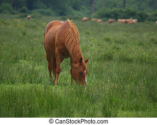 Grazing horse - stallion grazing