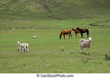 Grazing horses and sheep