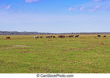 Grazing horses herd in a meadow grazing in horse farm