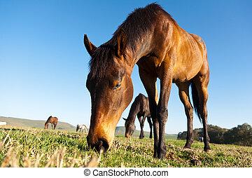 Grazing Horses in open pasture