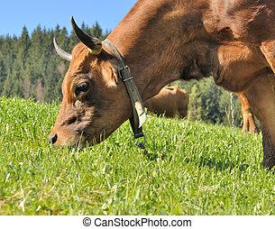 grazing in pasture