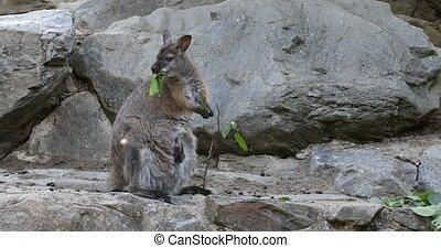 grazing kangaroo, baby looking from female bag