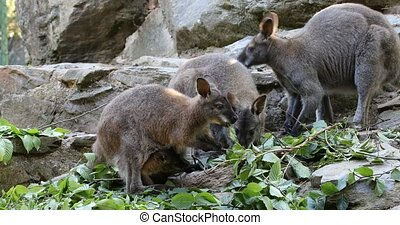 grazing kangaroo, baby looking from female bag - grazing...