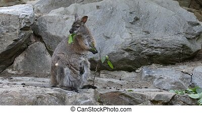 grazing kangaroo, baby looking from female bag