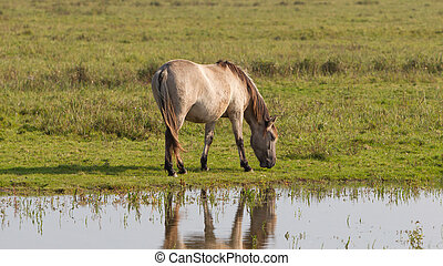 Grazing Konik horse in the north of the Netherlands
