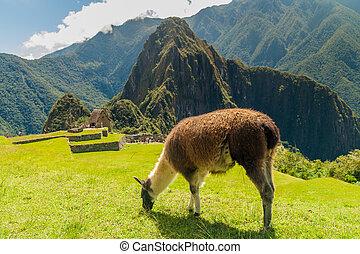 Grazing lama