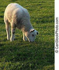 Grazing lamb