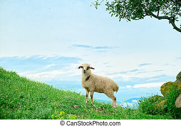 Grazing lamb in mountains