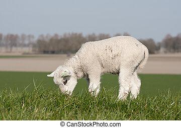 Grazing lamb on a dike
