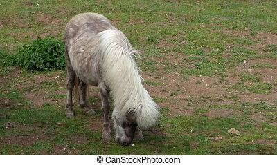 Grazing light brown pony
