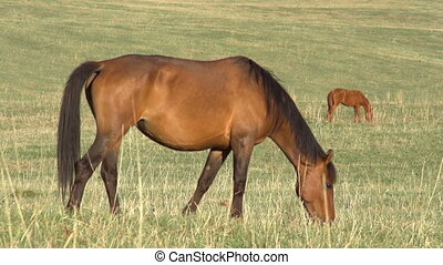Grazing Mare - Grazing mare with long mane lit up the...