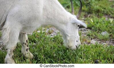 Mountain Goat - Grazing Mountain Goat