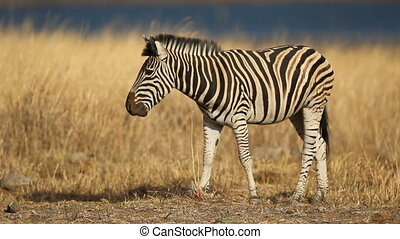 Grazing plains (Burchells) zebra (Equus burchelli), Pilanesberg National Park, South Africa