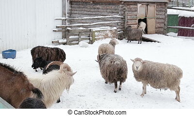 grazing sheep and goats on the farm in the winter to eat