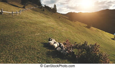 Grazing sheep at tree aerial. Sun mountain hill. Autumn nature landscape. Farm animals on grass field. Farmland biodiversity. Countryside natural beauty. Rural Carpathians mounts, Ukraine, Europe