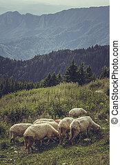 Grazing sheep flock