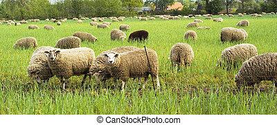 Grazing sheep. - Grazing sheep in a meadow.