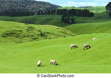 Grazing sheep - Green meadows with sheep grazing in a...