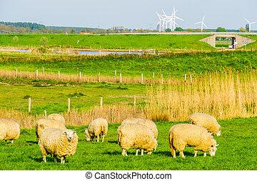 grazing sheep in pasture of schakerloopolder in Tholen city, countryside landscape in Zeeland, The netherlands