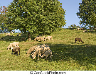 grazing sheep in sunny ambiance